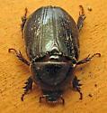 Rhino beetle? - Tomarus relictus