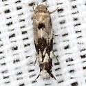 Grass Miner Moth - Hodges #1132 - Elachista brachyelytrifoliella