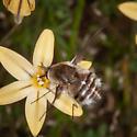 Bombylidae?