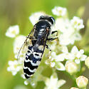 Sand wasp with two spots on A. verticillata - Bembix