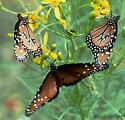 Queens on Senecio - Danaus gilippus - male - female