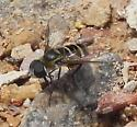 rounded wing bee mimic? - Villa