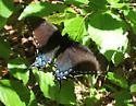 000002 - Papilio glaucus - female