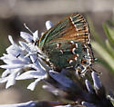 Juniper Hairstreak - Callophrys gryneus - female