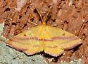 Chickweed geometer - Haematopis grataria - male