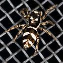 Zebra Jumper - Salticus scenicus - female