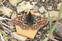 Possible Edith's Checkerspot - Euphydryas editha - female