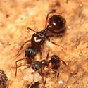 queen black ant - Aphaenogaster
