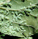 Green aphid
