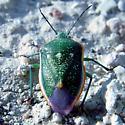 Death Valley Shield Bug - Chlorochroa sayi