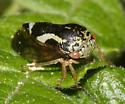 Treehopper - Ophiderma definita