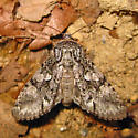 Figure-Eight Sallow - Psaphida resumens - female