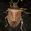Stink Bug - Euschistus obscurus