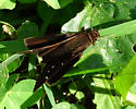 Skipper Butterfly - Lerema accius