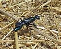 Steel-blue Cricket-hunter Wasp - Chlorion aerarium