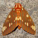 Citheronia Regalis - Citheronia regalis - male