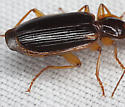 Carabidae IMG_0475 - Cymindis limbata