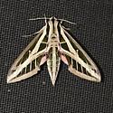 Eumorpha fasciatus - Banded Sphinx - Eumorpha fasciatus