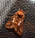 moth at porch light: looper? - Megalographa biloba