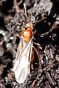 Early Ant? - Prenolepis imparis