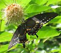 Dark Form Eastern Tiger Swallowtail - Papilio troilus - female