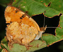 Northern Crescent - Phyciodes cocyta - male