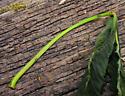 Zeiraphera claypoleana