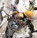 Salticid with bibionid prey - Phidippus whitmani