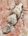 Moth - Arogalea cristifasciella