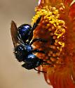 Osmia - Osmia cyanella - female