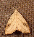 809 Rivula propinqualis - Spotted Grass Moth  8404 - Rivula propinqualis - female