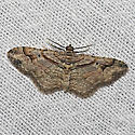Bent-line Carpet - Hodges#7416 - Costaconvexa centrostrigaria