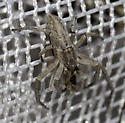 sweep net catch - Philodromus possiblepratariae
