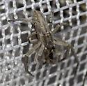 sweep net catch - Philodromus possiblepratariae