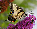 Swallowtail - Papilio glaucus - female