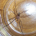 Male Southern House Spider (Kukulcania hibernalis) - Kukulcania hibernalis - male
