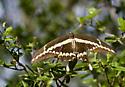 Giant Swallowtail - Papilio rumiko