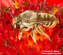 Megachile sp.? - Megachile zapoteca - male