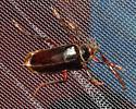Longhorned Beetle - Prionus
