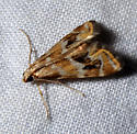is this a Petrophila avernalis? - Petrophila avernalis