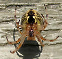 Most watched 2012  - Araneus marmoreus - female