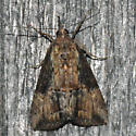 Green Cloverworm Moth - Hypena scabra