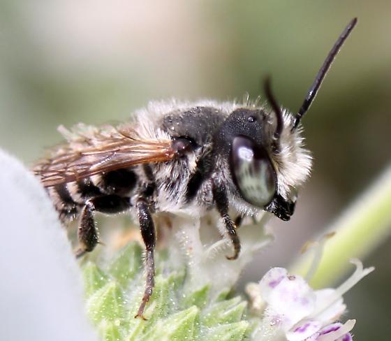 MEgachile - Megachile - male