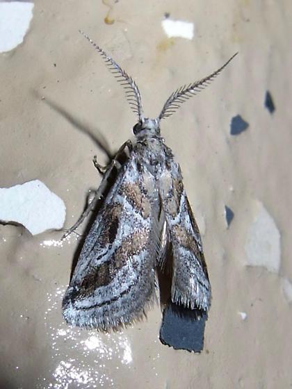 Decaturia pectinalis - male