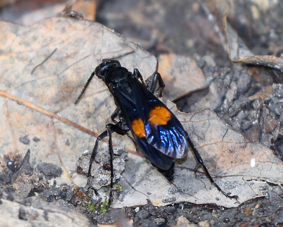 Black wasp with orange-red spots on wing - Calopompilus maculipennis - female