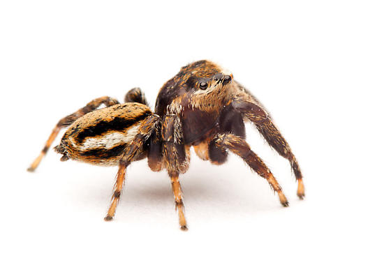 Another jumper - Evarcha - male