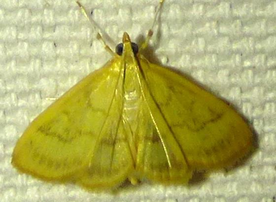unknown moth - Hahncappsia