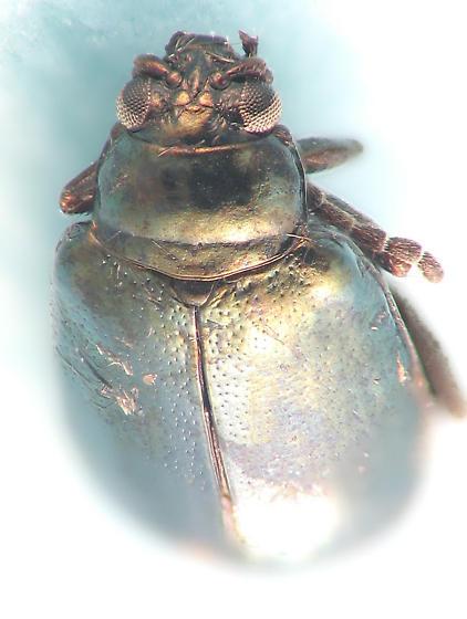 green leaf beetle - Altica
