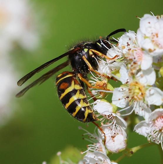 Forest Yellowjacket worker- nicely marked - Vespula acadica