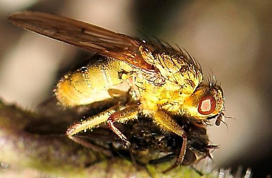Diptera - Flies - Scathophaga stercoraria